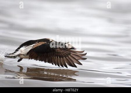 Le Harelde kakawi (Clangula hyemalis) hommes décollant de mer au printemps Banque D'Images