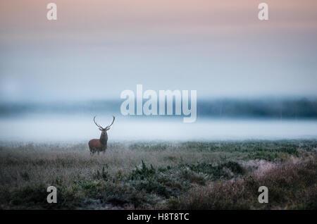 Belle red deer stag sur le champ près de la forêt brumeuse de brouillard en automne paysage en Biélorussie. Banque D'Images