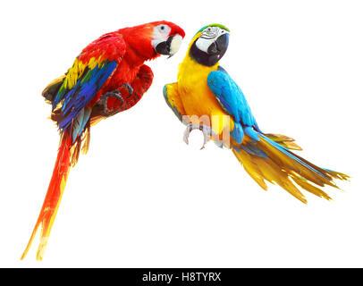 Deux perroquets colorés de l'ara rouge isolé sur fond blanc Banque D'Images