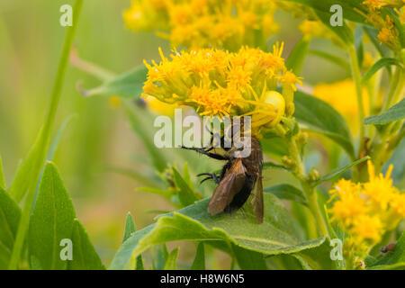 Houghton, Misumena vatia araignée crabe, avec un avion capturé vivant à houghton fleurs, Alberta, Canada Banque D'Images