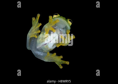 Vue ventrale de la femelle gravide Fleischmann's Glass Frog - Guatemala Banque D'Images