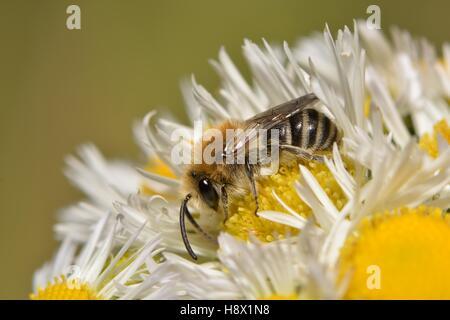 Plâtrier Bee (Colletes similis) femelle sur la vergerette annuelle Erigeron annuus) (19 juin 2015 Parc Naturel Régional Banque D'Images