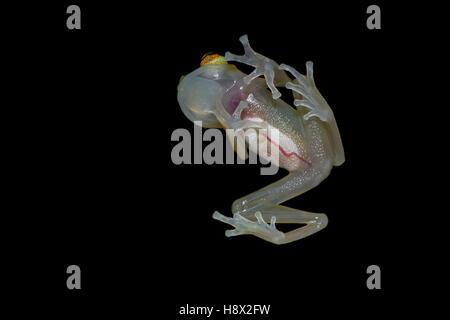 Grenouille de verre (Hyalinobatrachium cappellei cappellei, ex Hylella) - Montagne des singes (montagne des singes) Banque D'Images