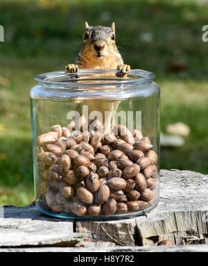 L'Est de l'Écureuil Renard avec des écrous à l'Écureuil Jar debout avec pattes avant sur le dessus du pot en verre Banque D'Images