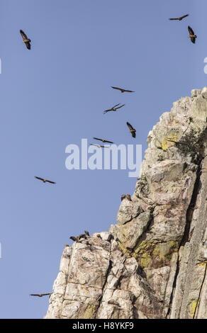 Charognards, en vol à Penafalcon falaise, Monfrague, Estrémadure, Espagne.