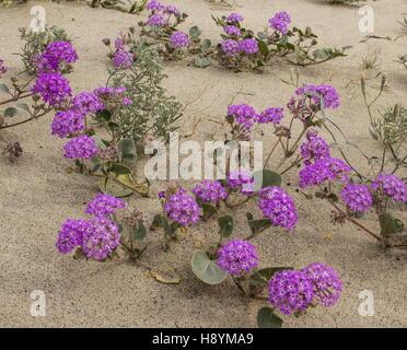Dunes de sable fleuri avec du sable de la verveine, Abronia villosa et en fleurs en Anza-Borrego, désert de Sonora, Banque D'Images