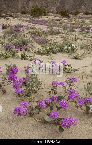 Dunes de sable fleuri avec du sable de la verveine, Abronia villosa et Dune primrose en fleurs en Anza-Borrego, Banque D'Images