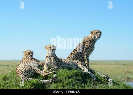 Trois Cheetah (Acinonix jubatus) sur la colline parlementaire à la savane, Close up, Maasai Mara National Reserve, Banque D'Images