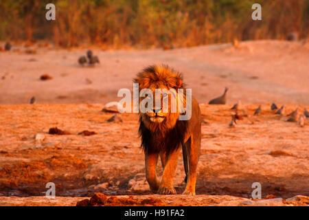 Le Kalahari regal magnifique lion mâle un énorme prédateur le plus puissant en Afrique Banque D'Images