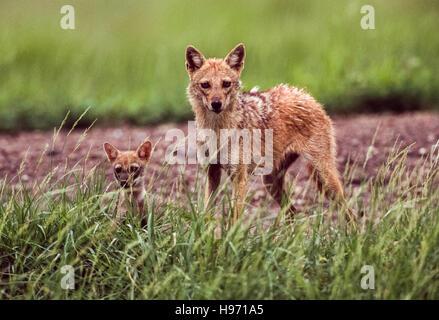Le Chacal, indien(Canis aureus indicus), Femme avec cub,Velavadar National Park,Gujarat, Inde