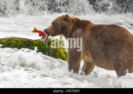 Ours brun mâle frai du saumon rouge de rattrapage à Brooks Falls, Katmai National Park, Alaska Banque D'Images