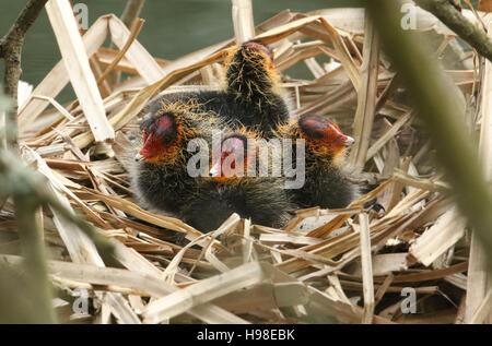 Foulques bébé (Fulica atra) sur leur nid attendent les parents pour revenir avec de la nourriture. Banque D'Images