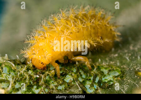 Caterpillar Ladybird (larve) Banque D'Images