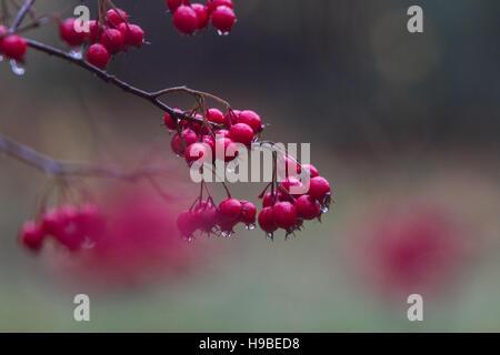 Wimbledon Londres, Royaume-Uni. 21 Nov, 2016. red tree berries couvert de gouttes de pluie après la pluie sur Wimbledon Common © amer ghazzal/Alamy Live News