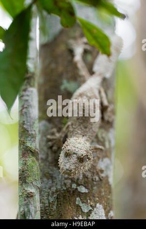 Parfaitement moussus masqués gecko à queue de feuille, Uroplatus sikorae, espèce de gecko avec la capacité de changer sa couleur de peau en fonction de son environnement. Et Banque D'Images