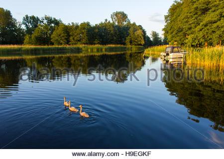 Lac paisible dans la soirée avec la famille White Swan piscine autour de la faune, de l'Europe Banque D'Images
