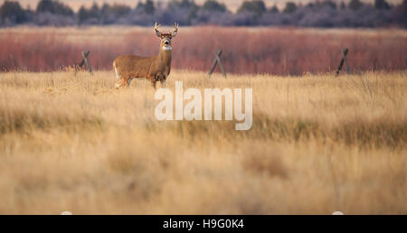 Le cerf mulet buck standing in farm field looking at camera. Banque D'Images
