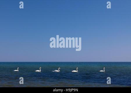 Groupe de cygnes tuberculés (Cygnus olor) piscine en ligne dans la mer en été Banque D'Images