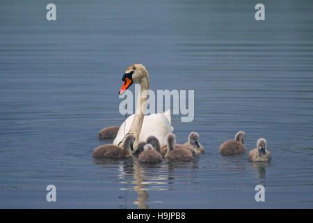 Mute swan (Cygnus olor) avec de jeunes / alimentation cygnets dans le lac au printemps Banque D'Images