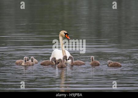 Mute swan (Cygnus olor) Nager avec les jeunes / cygnets dans le lac au printemps Banque D'Images