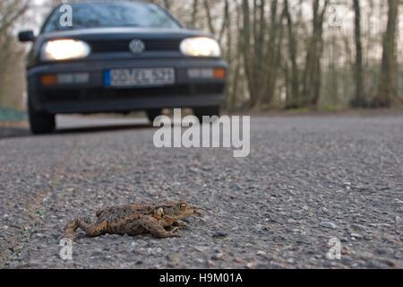 Crapaud commun (Bufo bufo) traverser une route en face d'une voiture Banque D'Images