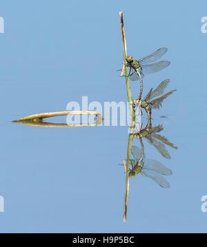 L'accouplement de libellules avec réflexion Banque D'Images