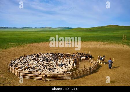 La Mongolie, province Arkhangai, nomad camp, laissant le troupeau de moutons Bestiaux Banque D'Images
