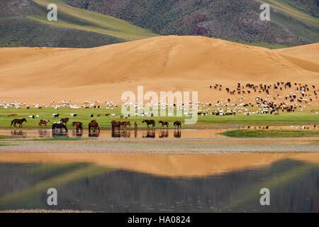 La Mongolie, province Zavkhan, Khar Nuur lake, de moutons et de troupeau de chevaux Banque D'Images