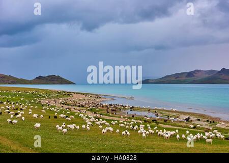La Mongolie, province Zavkhan, lac Khar Nuur, troupeau de moutons Banque D'Images