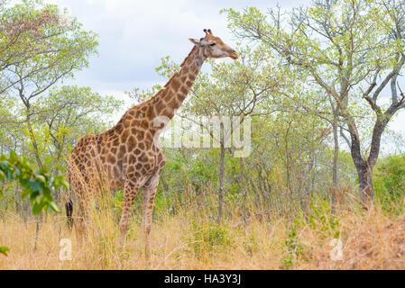 Profil de girafe dans le bush, Close up et portrait. Safari de la faune dans le Parc National Kruger, la principale Banque D'Images