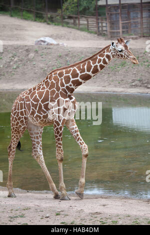 Giraffe réticulée (Giraffa camelopardalis reticulata), également connu sous le nom de la girafe au Zoo de Somaliens Brno en Moravie du Sud, en République tchèque.