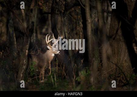 Un grand cerf Whitetail buck se trouve dans un projecteur de soleil dans les bois tôt un matin. Banque D'Images