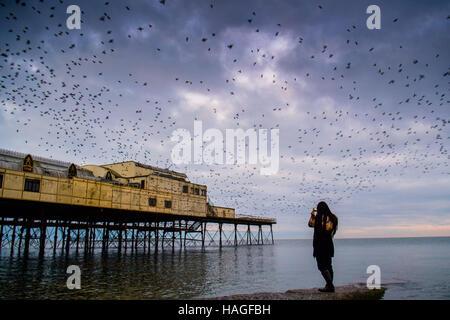 Pays de Galles Aberystwyth UK, le jeudi 01 décembre 2016 UK Weather: à la première lumière sur un matin froid le premier jour de l'hiver météorologique , une jeune femme montres et des photographies comme des dizaines de milliers d'étourneaux voler hors de leur dortoir la nuit sur la fonte des jambes de Aberystwyth pier. Chaque jour, ils se dispersent vers leurs aires d'alimentation avant de revenir le soir pour effectuer des parades aériennes spectaculaires au-dessus de la ville balnéaire Crédit photo: Keith Morris / Alamy live news