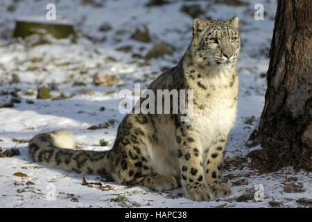 Léopard des neiges Banque D'Images