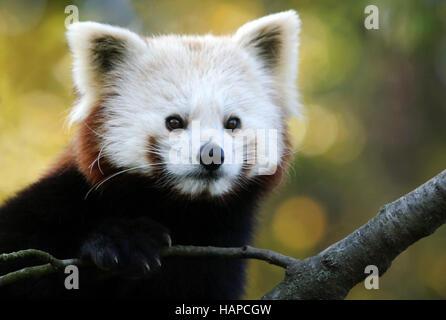 Petit panda chinois Banque D'Images