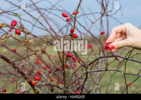 La main de femme rose hip Banque D'Images