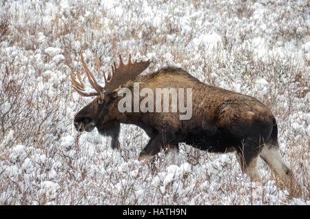 Bull Moose dans un champ neigeux