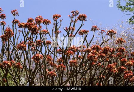 Fleurs de frangipanier plumeria ou rouge Banque D'Images