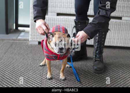 Femme mettant le collier, la laisse et le manteau sur son chien pour se préparer à partir pour une promenade par Banque D'Images