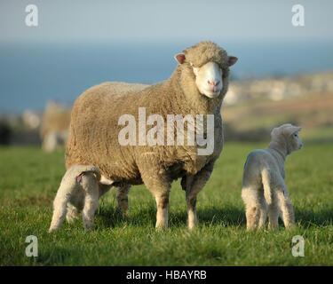 Poll dorset et ses agneaux Brebis Banque D'Images