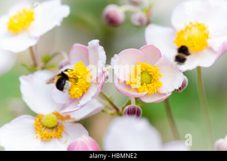 Une abeille recueille le pollen de fleur, close-up