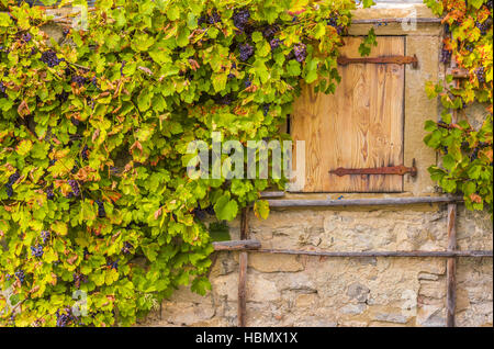Vignes sur maison wall stone Banque D'Images