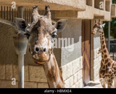 Iraffe chef isolé sur un zoo Banque D'Images