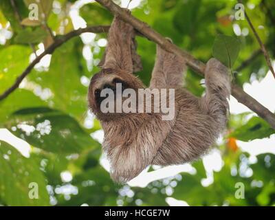 Bradypus variegatus sloth, mignon, suspendu à une branche dans la forêt, animal sauvage, Panama, Amérique Centrale Banque D'Images