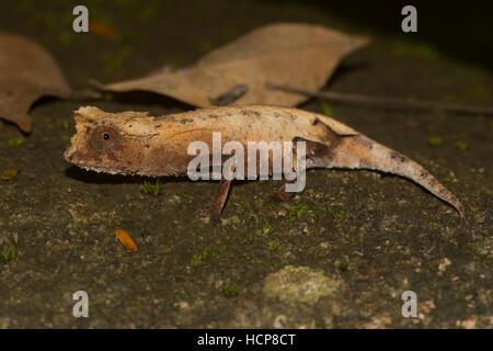 Feuille plaqué (caméléon Brookesia stumpffi), rainforest, Lokobe National Park, l'île de Nosy Be, également Nossi Banque D'Images