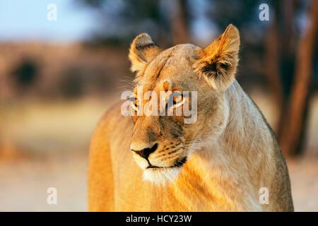 Lioness (Panthera leo), Kgalagadi Transfrontier Park, Kalahari, Northern Cape, Afrique du Sud, l'Afrique Banque D'Images