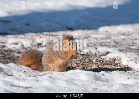 Fox squirrel assis sur le sol couvert de neige Banque D'Images