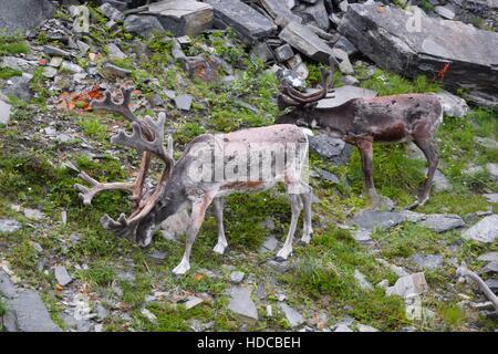 Sur le bord de la route deux rennes en Norvège, liège Banque D'Images