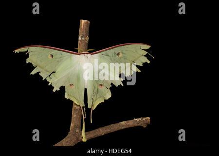 Papillon de lune indiens Banque D'Images