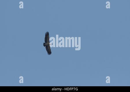 Le vautour à croupion blanc est un vieux monde vulture étroitement liée à l'vautour fauve